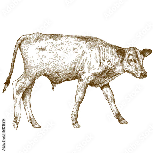 Photographie engraving  illustration of calf