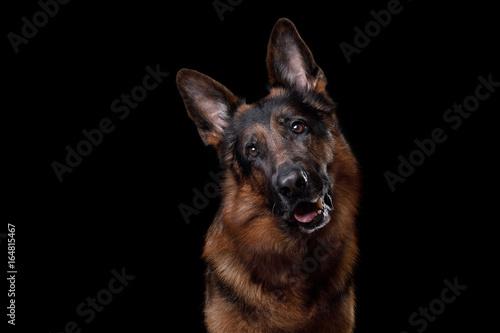 Canvas Print Dog German shepherd on a black background