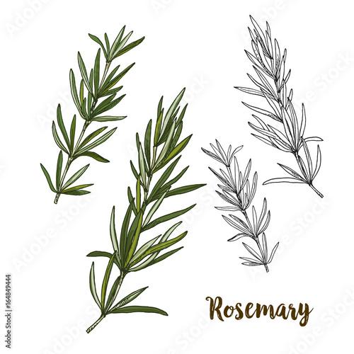 Obraz na plátně Full color realistic sketch illustration of rosemary