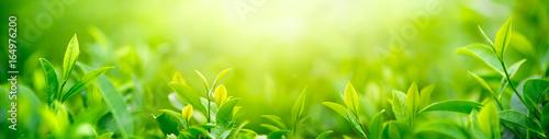 Fresh tea bud and leaves