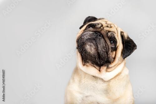 Canvas Print studio shot of funny pug dog, isolated on grey