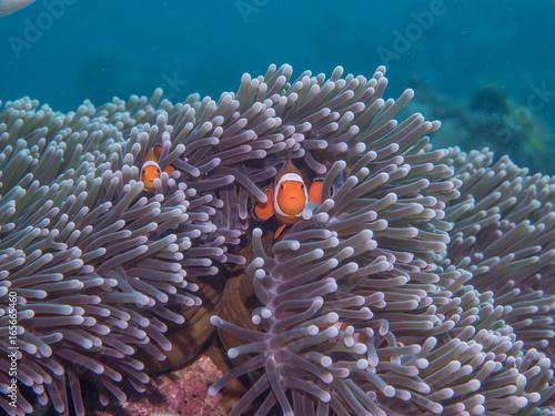 Wallpaper Mural Anemone fish at under the sea