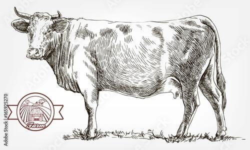 Cuadros en Lienzo breeding cow. animal husbandry. livestock