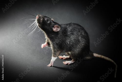 Obraz na płótnie Animal gray rat close-up