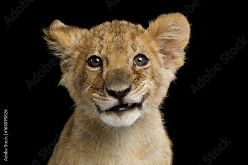 Fototapeta Portrait of Lion Cub with Grin Isolated on Black Background, front view