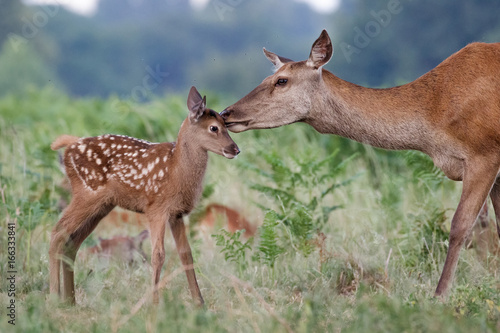 Red deer (Cervus elaphus) female hind mother and young baby calf having a tender bonding moment