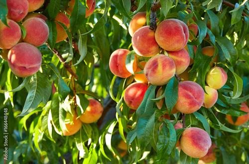 Obraz na plátne Branch of peach tree in closeup