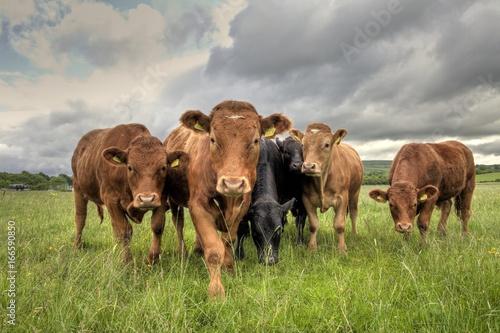 Fotografia, Obraz Limousin Bullocks in a Field