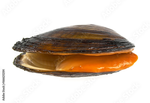 Fresh clam on a white background