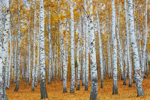 Fotografia autumn birch forest