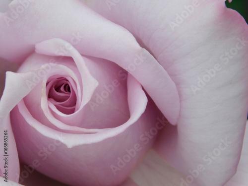 Close-up of a beautiful varietal pastel-pink rose