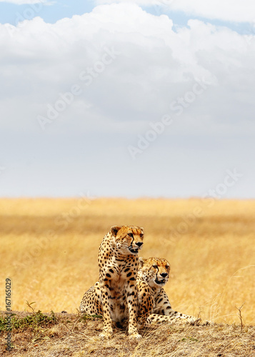 Two Cheetahs in Africa - Vertical with Copy Space