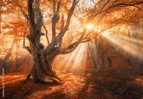 Magical old tree with sun rays in the morning. Amazing forest in fog. Colorful landscape with foggy forest, gold sunlight, red foliage at sunrise. Fairy forest in autumn. Fall woods. Enchanted tree