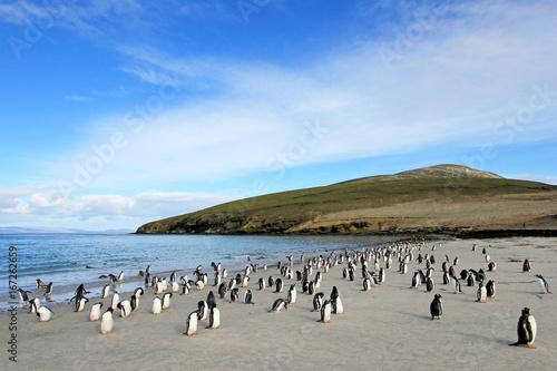 Fototapeta premium Pingwiny białobrewe, Pygoscelis Papua, Saunders Falkland Islands, Malvinas