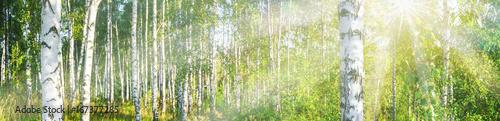 Fotografía Birch grove on a sunny summer day landscape banner, huge panorama