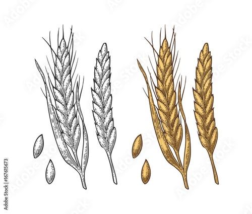 Fotografia Ear of wheat, barley and grain malt