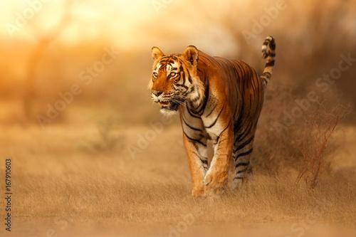 Billede på lærred Great tiger male in the nature habitat
