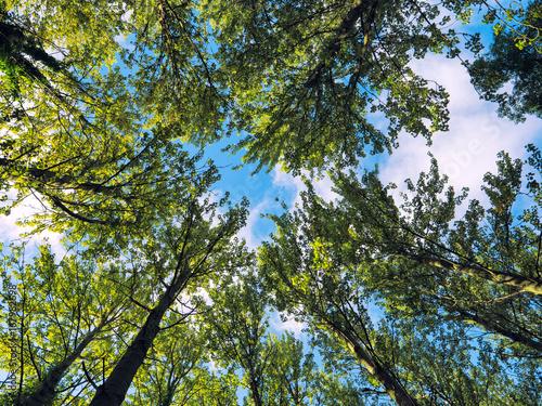 Obraz na plátně Summer poplar tree against blue sky