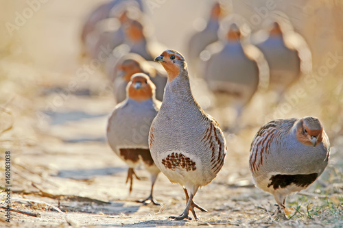 Fototapeta A flock of gray partridges in the backlight. Leader in front.