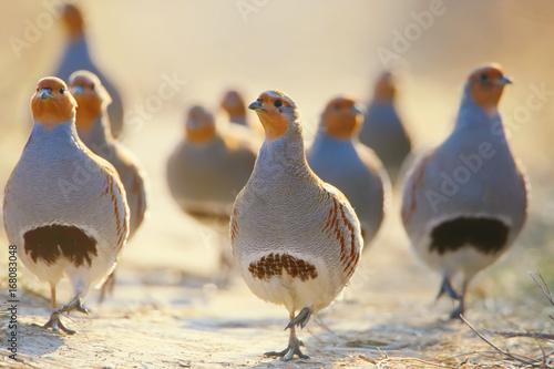 Obraz na plátně A flock of gray partridges in the backlight. Leader in front.