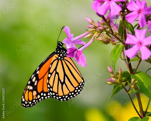 Stampa su Tela Monarch butterfly feeding on phlox flowers in garden