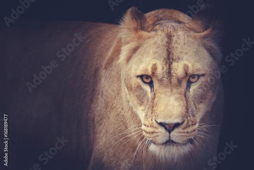 Fotografia lioness
