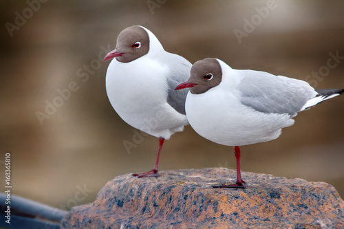 Two black-headed gulls are almost indistinguishable from each other