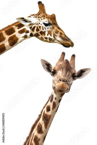 Giraffes portrait on white background