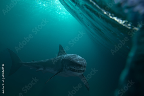 Canvas Print Great White Shark near by water surface