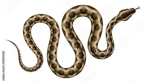 Fototapeta premium Ilustracja wektorowa brązowy Python. Na białym tle tropikalny wąż na białym tle.
