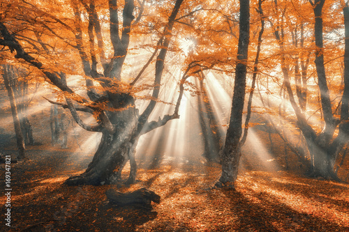 Magical autumn forest with sun rays in the evening. Trees in fog. Colorful landscape with foggy forest, gold sunlight, orange foliage at sunset. Fairy forest in autumn. Fall woods.Enchanted tree