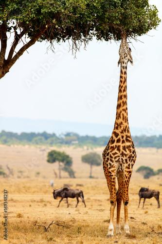 Fototapeta premium Żyrafa w parku safari