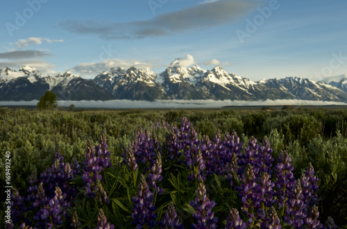 Canvas Print Lupine and the Grand Tetons, Wyoming