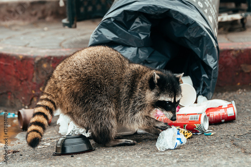 Canvas Print wild racoon looking for food