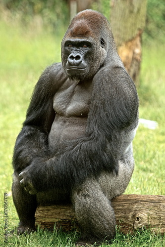 Photo Large Silverback Western Lowland Gorilla sitting posing on a log, while looking