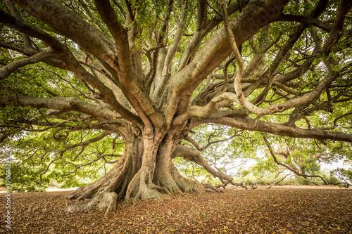 Fotografie, Obraz The Old Moreton Bay Fig, Milton, NSW