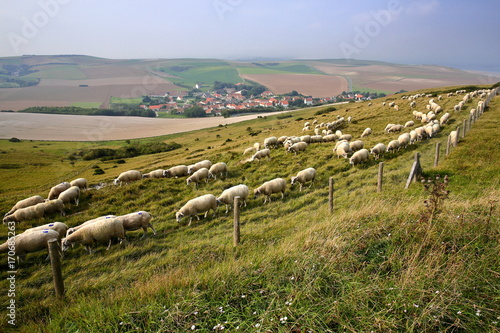 Obraz na płótnie Flock of sheep with Escalles village and colorful surrounding fields in the back