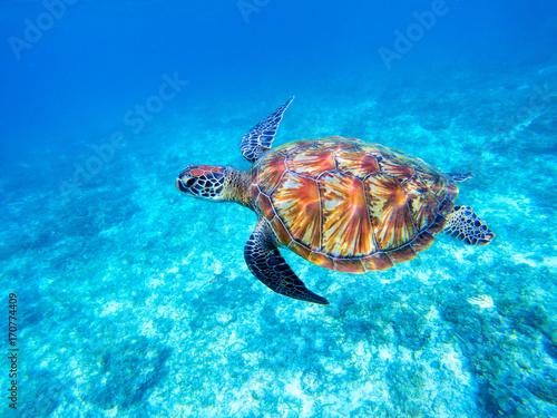 Obraz na płótnie Green sea turtle in shallow seawater