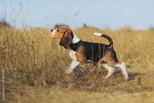 Canvas Print funny beagle puppy