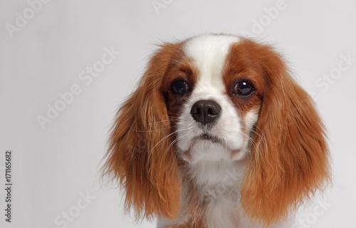 Cuadros en Lienzo CAVALIER KING CHARLES SPANIEL dog
