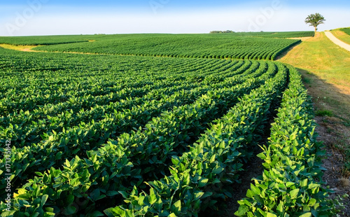 Fotografija Soybean field in Central Illinois