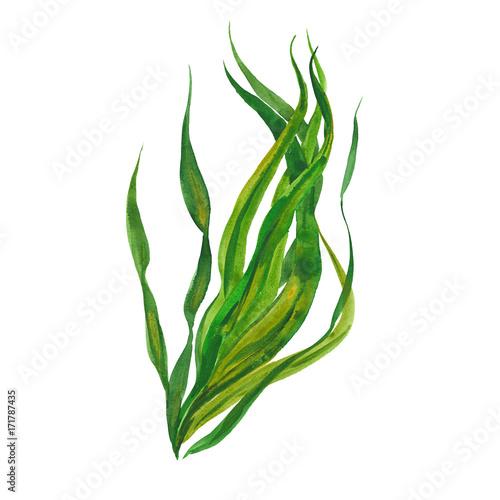 Canvas Print watercolor kelp seaweed