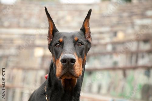 Fotografia beautiful strong black dog doberman
