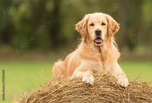 Fotografia Beauty Golden Retriever dog on the hay bale