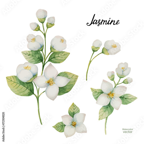 Canvas Print Watercolor vector set of flowers and branches Jasmine isolated on a white background