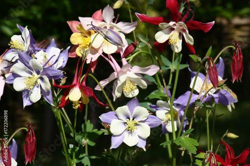 Different color of a aquilegia Fotobehang
