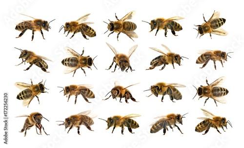 Cuadros en Lienzo group of bee or honeybee on white background, honey bees