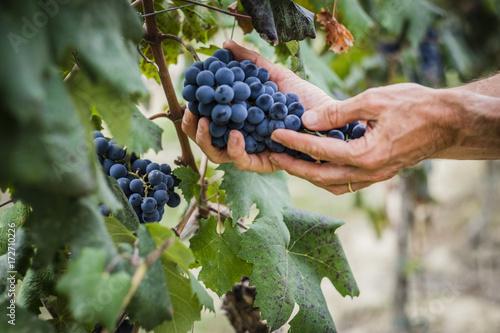 Fotografia Grappoli di uva nel vigneto durante la vendemmia