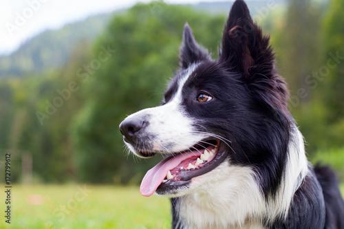 Leinwand Poster Border collie herding dog breed