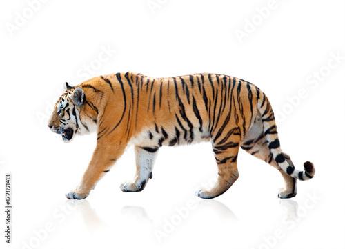 Fototapeta premium Tygrys bengalski chodzenia, odizolowane na białym tle